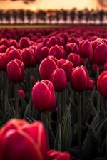 Muitas tulipas vermelhas, campo de flores, crepúsculo