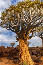 Namibia, Quiver Tree, rocks, nature