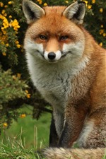 Preview iPhone wallpaper One fox sit down, look, wildlife