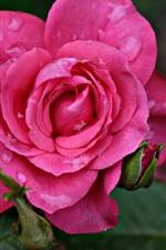 Preview iPhone wallpaper Pink rose flowering, petals, water droplets
