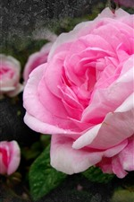 Rosas cor de rosa, gotas de água, pétalas, parede