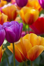 Preview iPhone wallpaper Purple and yellow tulips, many flowers