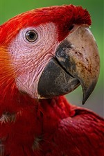 Preview iPhone wallpaper Red feather macaw, head, eyes