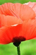 iPhone壁紙のプレビュー 赤いケシ、花、水滴
