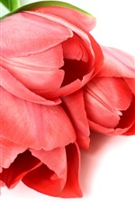 Preview iPhone wallpaper Red tulips, white background