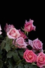 Algumas rosas cor de rosa, folhas verdes, fundo preto