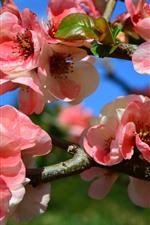 Primavera, flores cor de rosa florescer, galhos