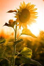 Preview iPhone wallpaper Sunflowers, sunset, glare, summer
