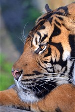 Preview iPhone wallpaper Tiger rest, head, look, nose