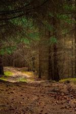 Trees, forest, path, sun rays, dusk