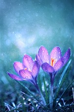 Preview iPhone wallpaper Two pink crocuses, water droplets, rain, hazy