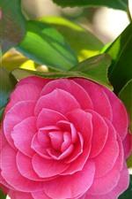 iPhone壁紙のプレビュー 2つのピンクの花、椿、春