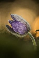 Duas flores roxas de grama do sono, gotas de água, nebulosas