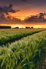 Wheat fields, clouds, sunset, countryside