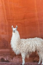 Preview iPhone wallpaper White llama, red wall