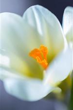 미리보기 iPhone 배경 화면 화이트 사프란, 꽃, 꽃잎