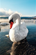 Preview iPhone wallpaper White swans, lake, water, mountains