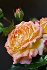 Pétalas de rosa amarelas, rosas, folhas