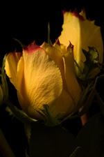 Rosas amarelas, pétalas, fundo preto