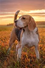 Preview iPhone wallpaper Beagle, dog, grass, sunset