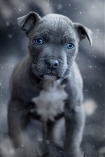 Preview iPhone wallpaper Black puppy, blue eyes, front view