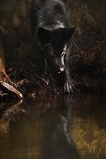 Lobo preto, olhos amarelos, água