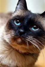 Preview iPhone wallpaper Blue eyes cat look at you, pet