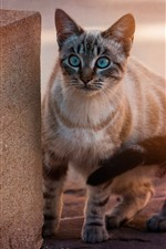 Preview iPhone wallpaper Blue eyes cat, look, stairs