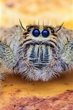 Blue eyes spider, insect