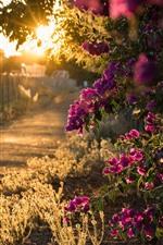 Vorschau des iPhone Hintergrundbilder Bouganvilla blüht Blüte, Sonnenstrahlen, Morgen
