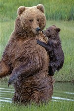 Preview iPhone wallpaper Brown bears, family, cubs, river, grass