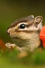 Preview iPhone wallpaper Chipmunk and red poppy flower