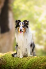 Preview iPhone wallpaper Collie, dog, moss, sit
