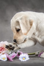 Preview iPhone wallpaper Cute Labrador retriever and flowers