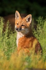 Preview iPhone wallpaper Cute fox, grass, nature