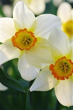 Preview iPhone wallpaper Daffodils macro photography, petals, flowers