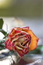 Preview iPhone wallpaper Dry rose flower, petals