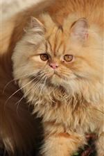 Preview iPhone wallpaper Fluffy cat, pet
