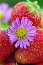 Fresh strawberries, pink flower