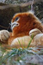 Golden monkey, grass