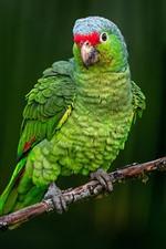 Papagaio verde, olha, galho de árvore