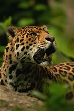 Preview iPhone wallpaper Jaguar, fangs, wildlife