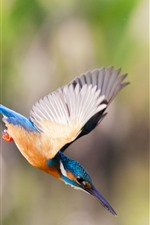 Preview iPhone wallpaper Kingfisher, flight, wings, attack