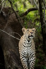 Preview iPhone wallpaper Leopard, look, forest, wildlife