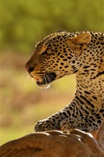 Preview iPhone wallpaper Leopard, predator, wildlife