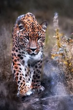 Leopard walk to you, front view, grass