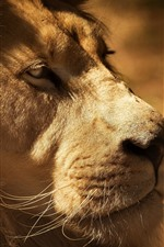 Leão, rosto, boca, olhos, juba