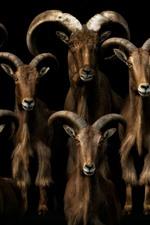 Many goats, black background