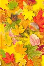 Muitas folhas de bordo amarelo, cores, outono