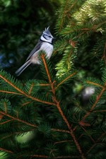 Preview iPhone wallpaper One bird, pine twigs